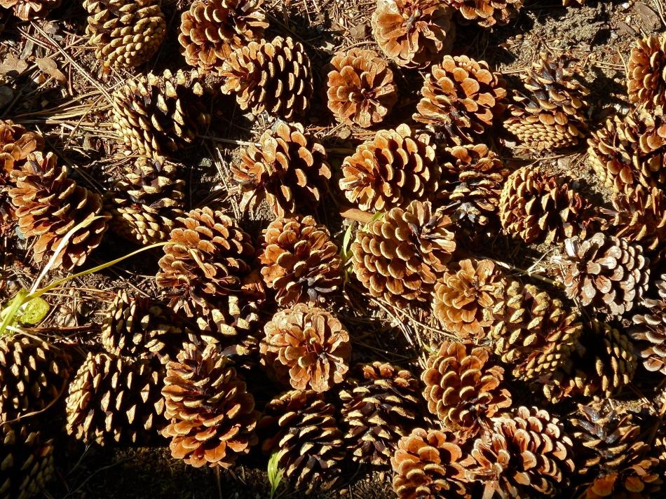 Pine cone heaven