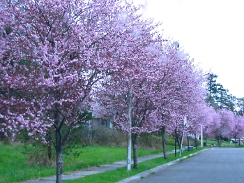 cherry trees in March 002